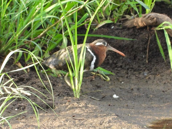 Female painted snipe by Roy A8