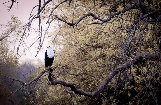 Fish Eagle at Hide Dam by Dan B33
