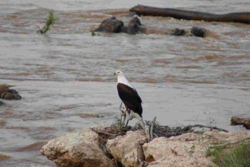 Fish Eagle at Speakers Corner by Roy Markham