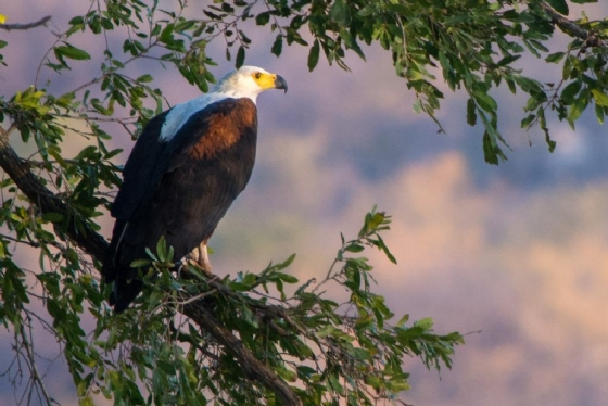 Fish Eagle by B36