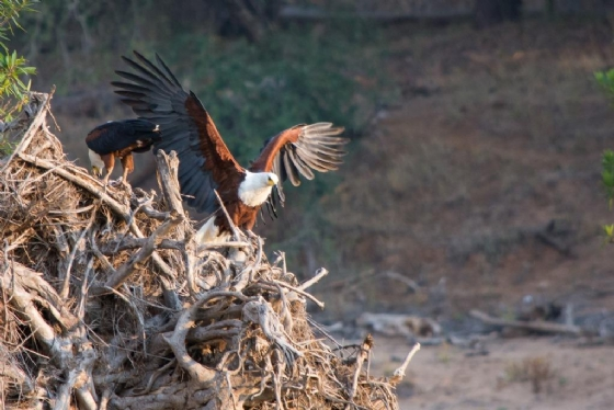 Fish Eagle on Floodplains by B36