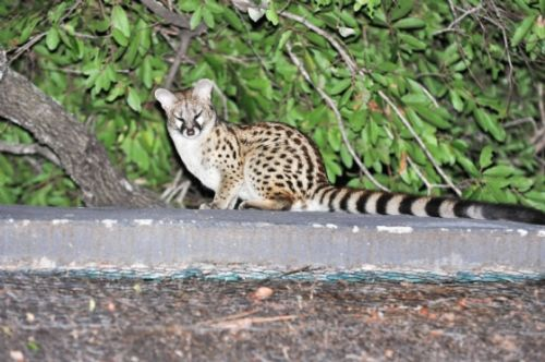 Genet on unit roof by Mandy Proudfoot