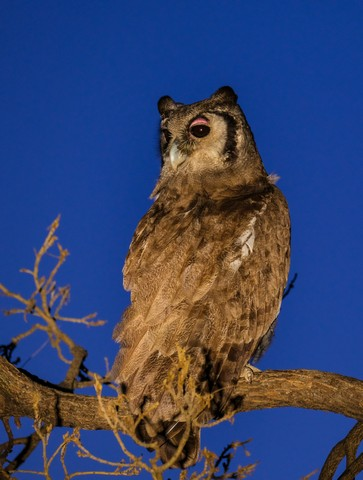 Giant Eagle Owl at Hide Dam by Dan B33