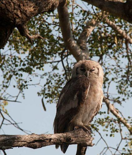 Giant Eagle Owl by Eileen Fletcher