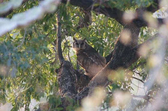 Giant Eagle Owl on Candelabra by James B21