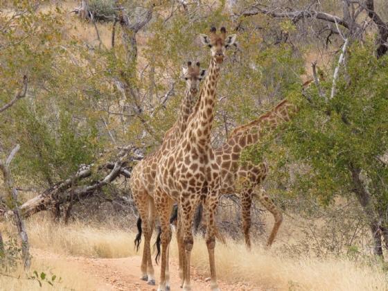 Giraffe by JD B13