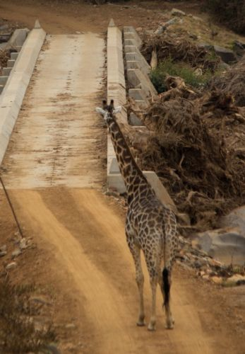 Giraffe crossing causeway by Jason Truscott
