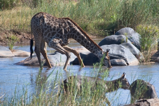 Giraffe in the Olifants by Anthony B27-2