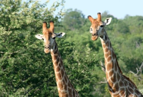 Giraffe necking by Analia and Richard