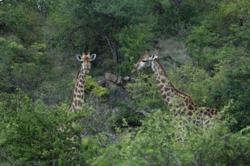 Giraffe pair by Manuel Lopes
