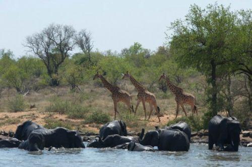 Giraffe passing wallowing elephant by Eileen Fletcher