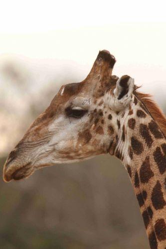 Giraffe portrait by Craig Ryall