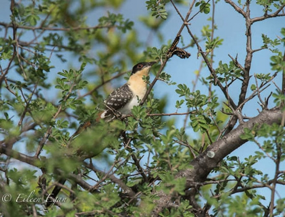 Great spotted cuckoo and caterpillars by Eileen Egan