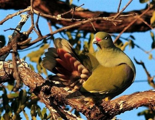 Green Pigeon by Danny Shaw