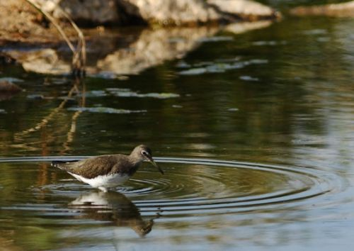 Green Sandpiper by Danny Shaw
