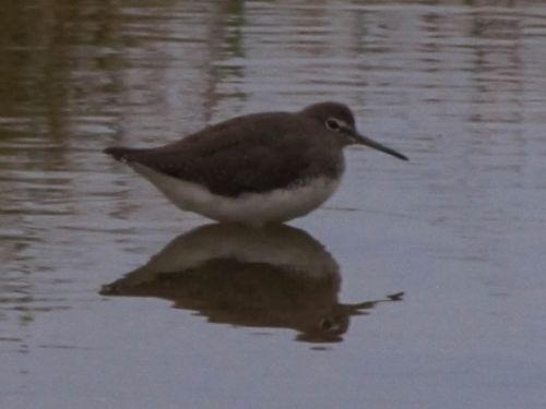 Green sandpiper taken in the Palm Loop by Roy Sarkin