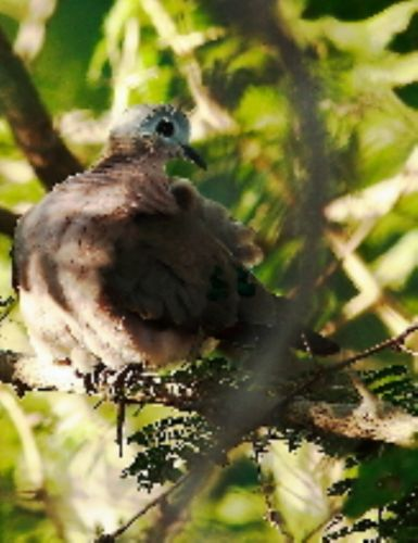 Greenspotted dove by Danny Shaw