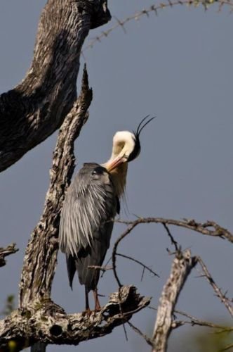 Grey Heron by Manuel Lopes 2