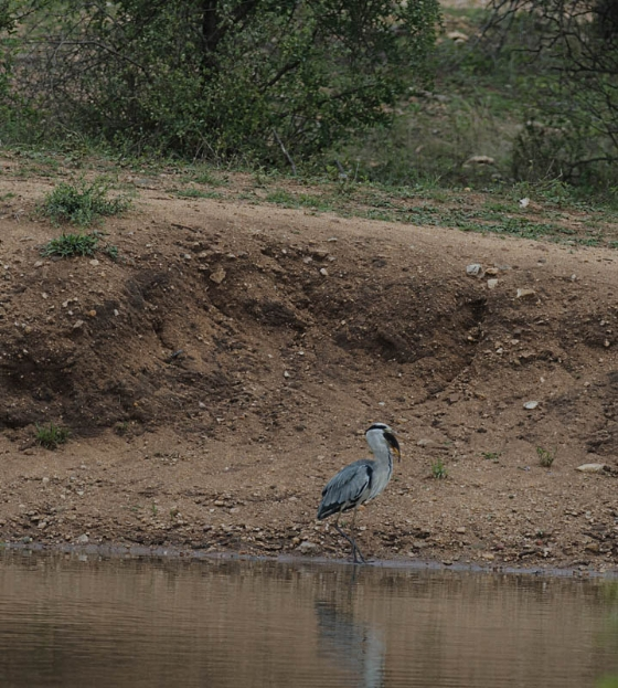 Grey Heron with lunch by Eileen Fletcher