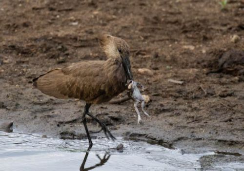 Hammerkop with freshly caught frog by Manuel Lopes