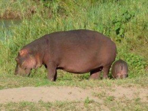 Hippo and new born calf by Richard Wostenholm