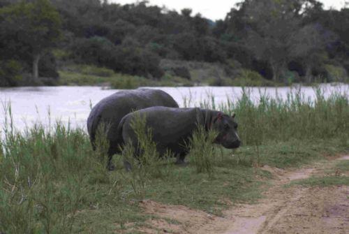 Hippo on river loop by Roy Markham