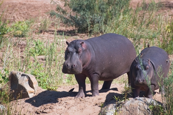 Hippos by Anthony B27-2