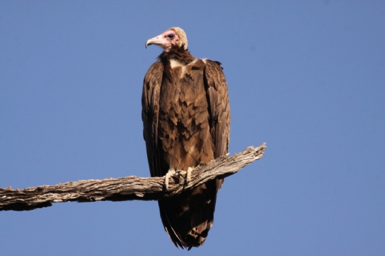 Hooded Vulture by Graham Benfield