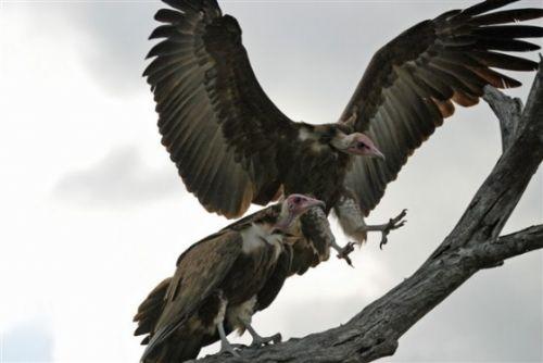 Hooded Vultures by Jock Mckenzie