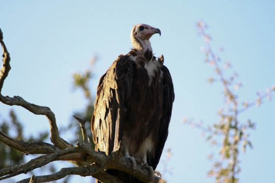 Hooded vulture at lion kill on Porcupine ridge by Graham Benfield
