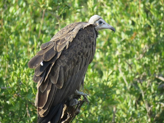 Hooded vulture by Jean B13