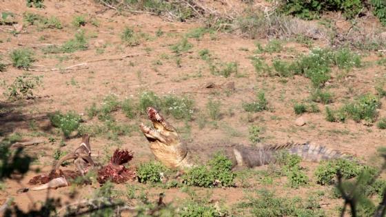 Huge croc stealing Kudu Kill by Nic Holzer
