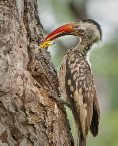 Hungry Hornbill by Andrew Hrabar