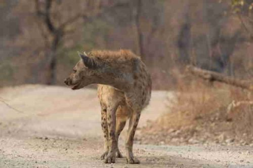 Hyaena on Camp Road by Eileen Fletcher 2