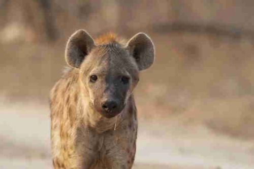 Hyaena on Camp Road by Eileen Fletcher