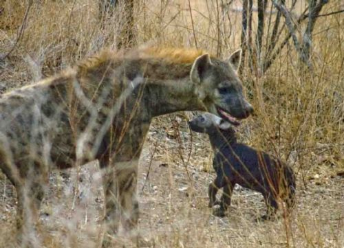 Hyaena with new pup by Jurgen Elbertse