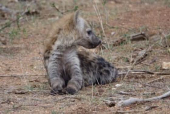 Hyena Cubs By David Levin B5 (5)