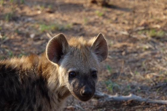 Hyena Cubs by David Levin B5 (2)