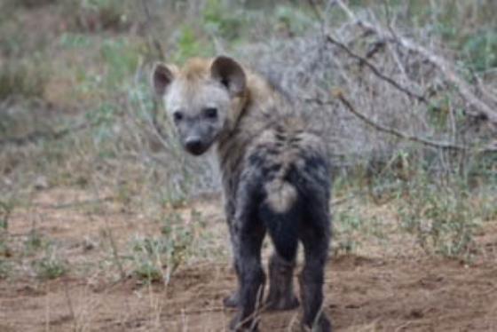 Hyena Cubs by David Levin B5 (3)