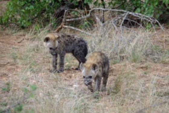 Hyena Cubs by David Levin B5 (4)