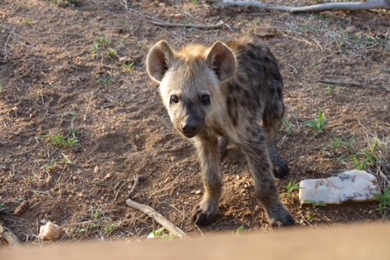 Hyena Cubs by David Levin B5 (7)