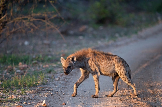 Hyena adult by Johann B38