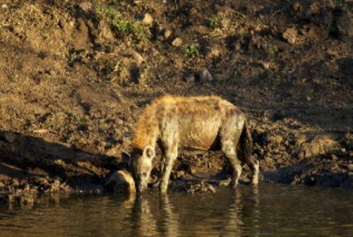 Hyena at Wildebeeste dam by Roy Markham