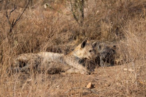 Hyena back at old den by Nic Holzer