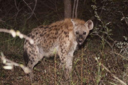 Hyena by Graham Benfield
