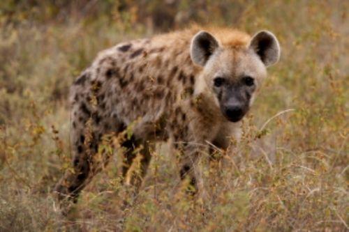 Hyena by Roy Markham