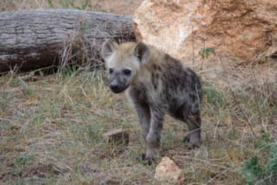 Hyena cubs by David B5 (6)