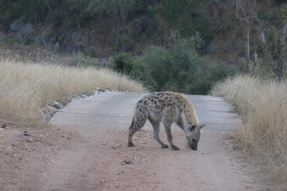Hyena on Ebony by Rene A4