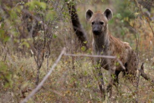 Hyena on Sable Loop by Roy Markham 2