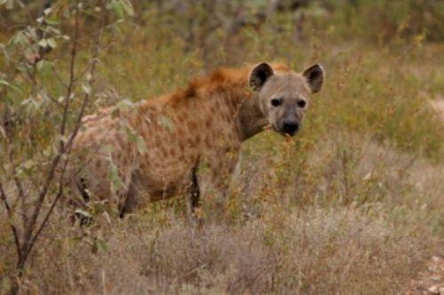 Hyena on Sable Loop by Roy Markham
